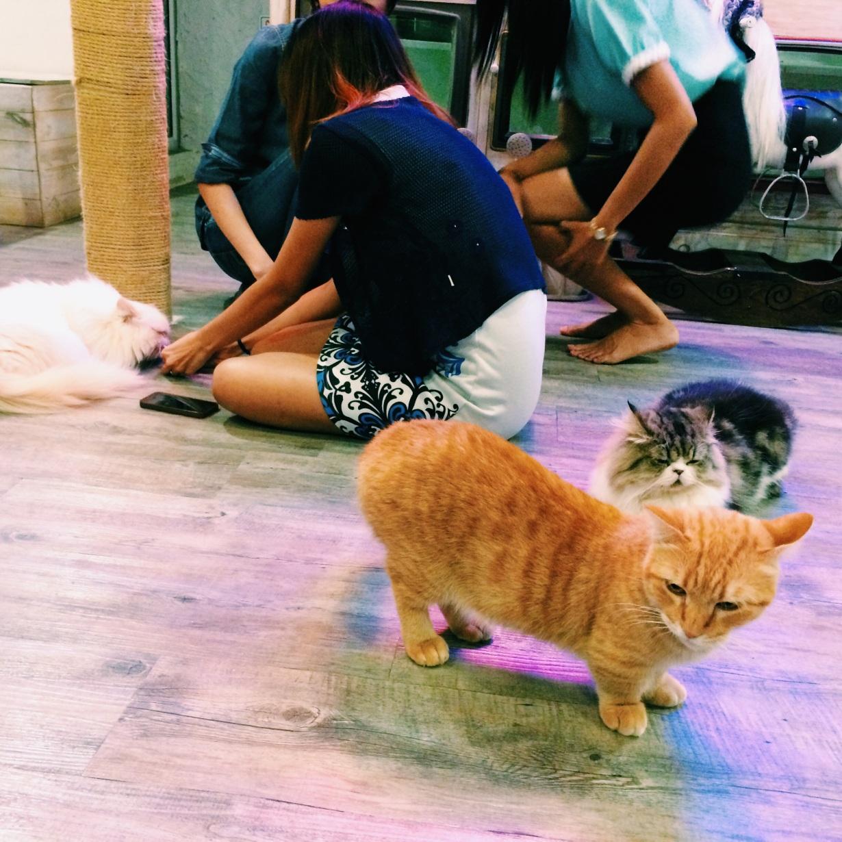 Munchkin cats everywhere